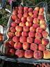 Продается молодой персиковый сад в Крыму Симферополь