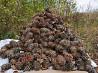 Требуются люди на сбор кедровой шишки. Кедролазы объявление из г.Владивосток